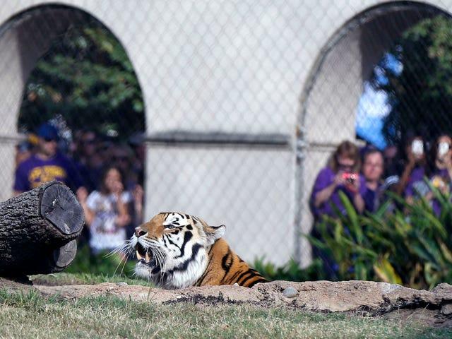 LSU Mascot Mike O Tigre Diagnosticado Com Forma Inoperável De Câncer