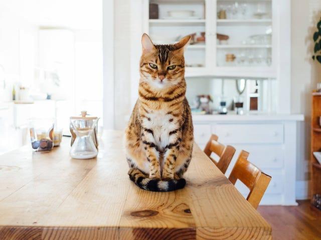 Onko sinulla kissoja?  Tarvitset tämän ihmetuotteen kissankuorelle.