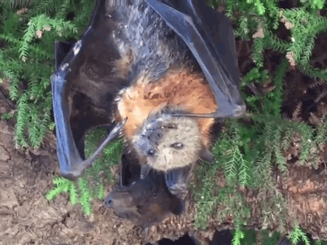 Gigantic Bats Are Dying Upside Down, Making Australia's Heatwave Look Like a Horror Movie