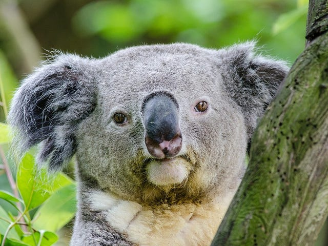 Щоб зберегти коали від вимирання, ми можемо в першу чергу вбити їх