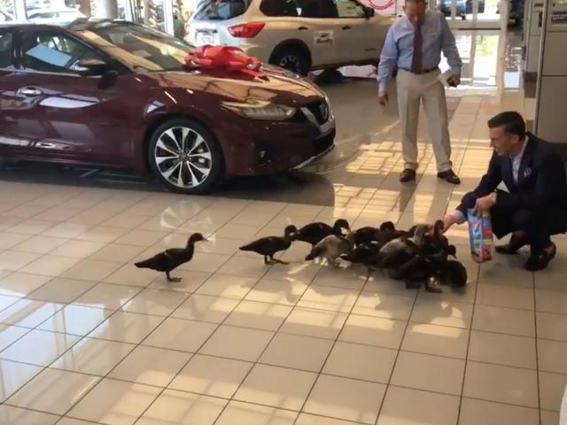 Orlando Car Dealership Adopts Giant Duck Family