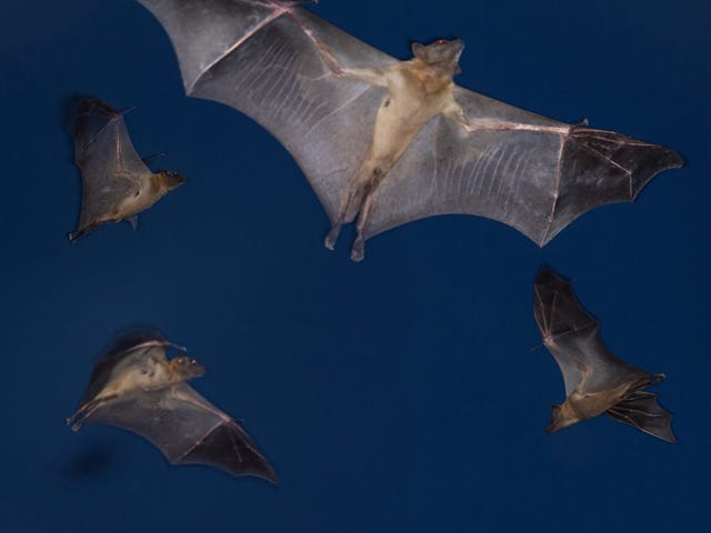Finally, some good news: Tequila bats are off the endangered list