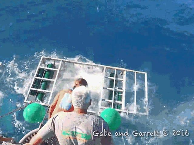 Grande tubarão branco invade a gaiola de tubarão do mergulhador
