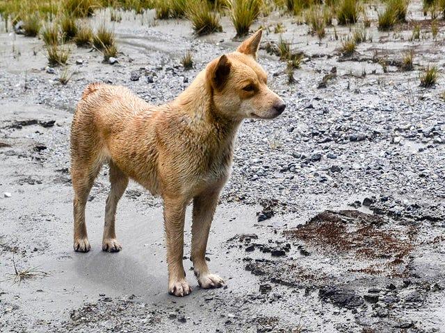 Logran fotograferer después de medio siglo al perro más raro del mundo, der er specielt af 6.000 år