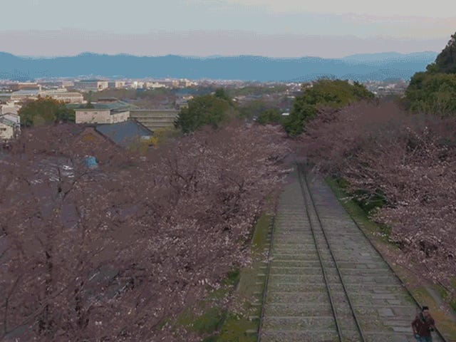 Watch Cherry Blossoms Suddenly Explode Into Life in This Stunning Timelapse Footage