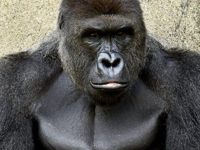 Neden insanlar Goril Harambe ile olanlarla ilgili bu kadar aptalca görüşlere sahipler?