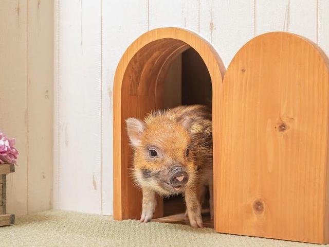 Sabtu Malam Sosial: Kafe Babi Adalah Masa Depan Minum Kopi Berhampiran Haiwan