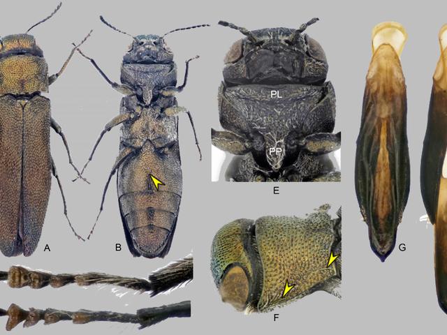 Ученые открывают новые виды насекомых из-за их странного члена