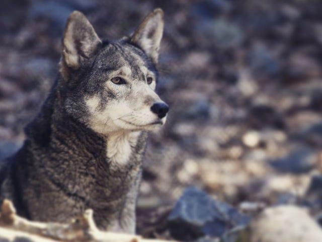 La Caroline du Nord veut déclarer ses 100 loups éteints