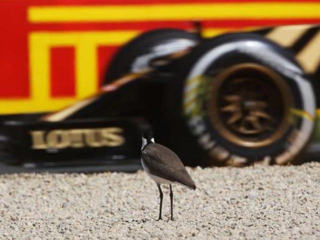 Cet oiseau au Grand Prix d'Australie ne s'en soucie pas