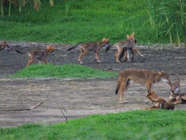 Para saintis mencari DNA Wolfe Merah dalam Kumpulan Anjing Liar yang unik di Texas