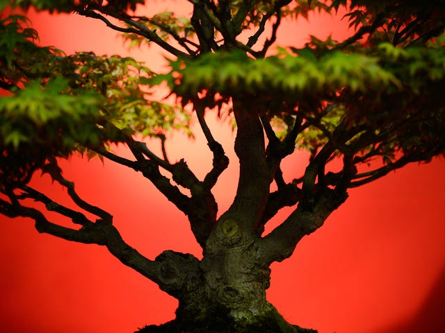Owners of Stolen Bonsai Trees Beg Thieves to Please Not Let Them Die