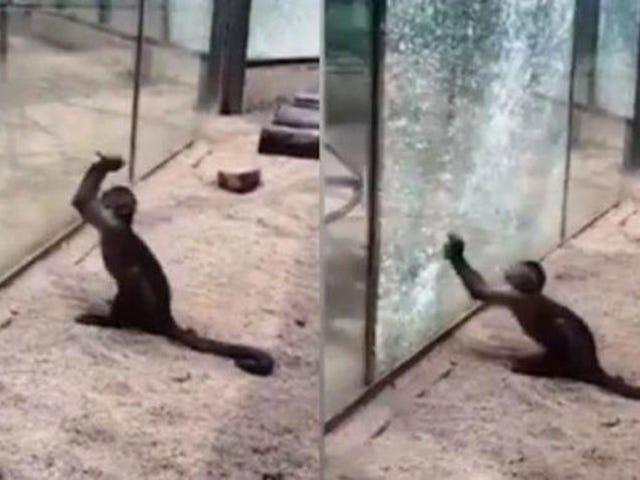 Le moment où le singe d'un zoo chinois utilise un rocher pointu pour briser le verre de sa cage