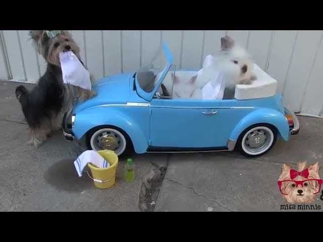There's No Way to Accurately Describe This Yorkie/Bunny Carwash Video