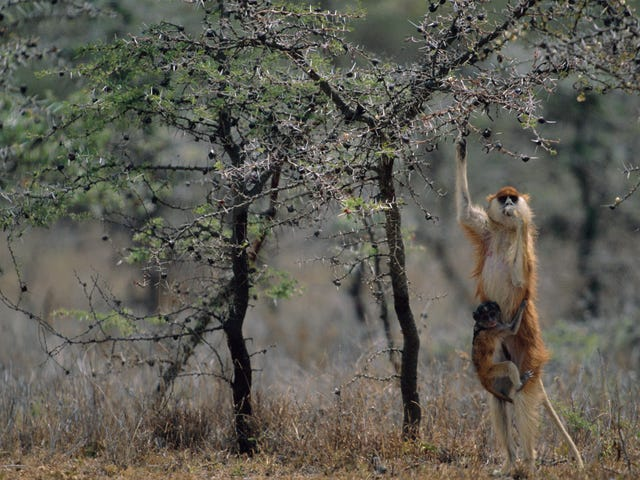 The Monkey That Inspired The Lorax Is Losing Its Trees