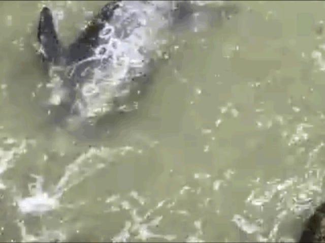 Un delfín desesperado se lanza contra las rocas para escapar: Somí son las matanzas delfines en Japón