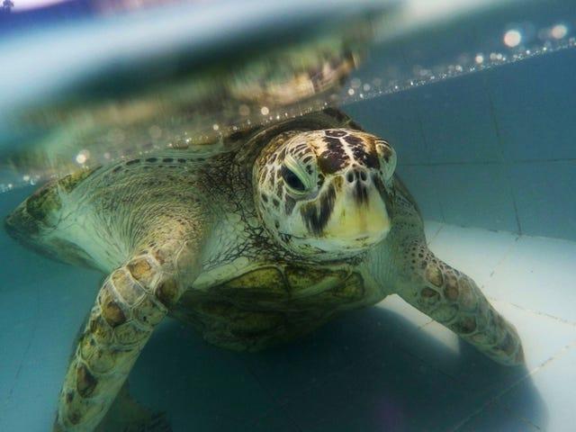 Husk at Sjarmerende Turtle som hadde 1000 mynter fjernet fra magen hennes?  Hun er død nå.