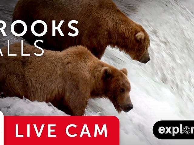 BearCam Is Back, Bitches