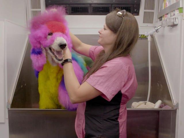Kenapa ya, kami akan menonton dokumentari anjing yang berdaya saing, terima kasih banyak
