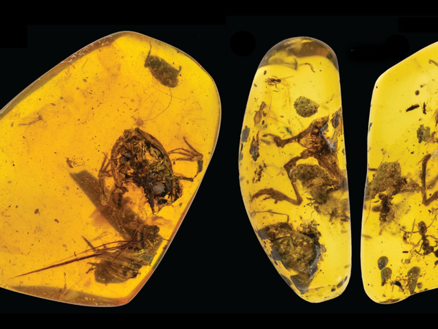 These Are the Most Ancient Frogs Ever Found Preserved in Amber