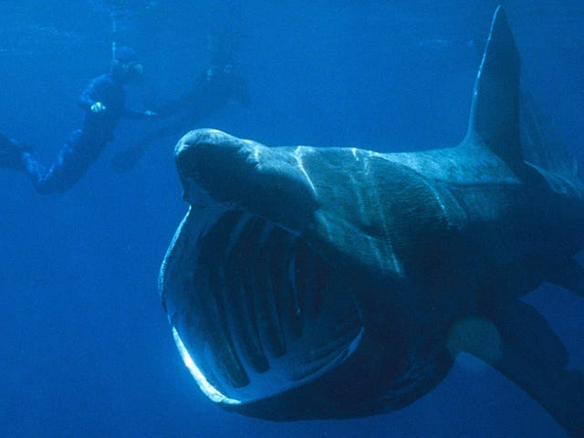 Estos enormes tiburones se están congregando en grupos de cientos y los científicos no saben por qué