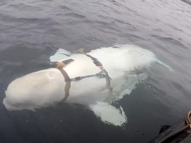 Pescadores noruegos encuentran una Ballena डोमेस्टिकडा पोर्टलैंडो un extraño arnés मिलिट्री रसो