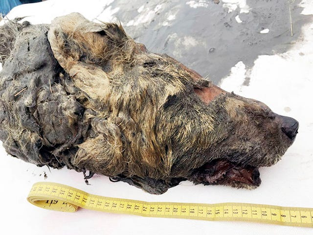 Encuentran en Siberia una cabeza de lobo gigante de la Edad de Hielo increíblemente preservada