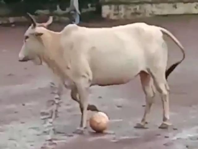 Le clou du sport de la journée est cette vache de football qui gagne un jeu de Keep Away