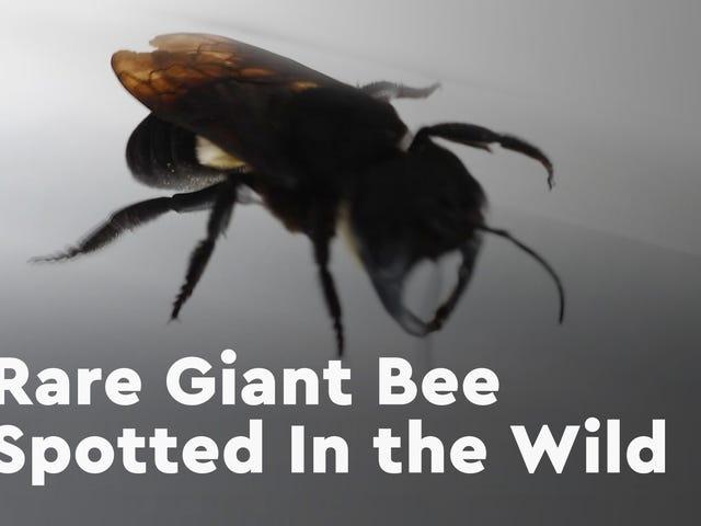 Verdens største bi, som engang blev udslettet, er blevet fundet levende <em></em>