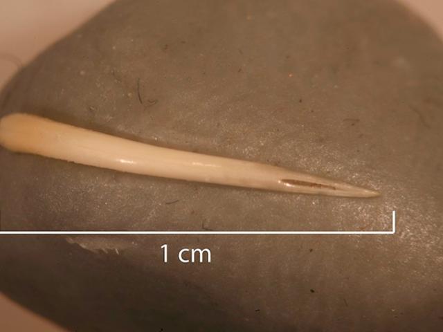 Manusia Kotoran Berbusa Fosil Memperlihatkan Penjelajah Kuno Memakan Seekor Rattlesnake Keseluruhan — Termasuk Fang