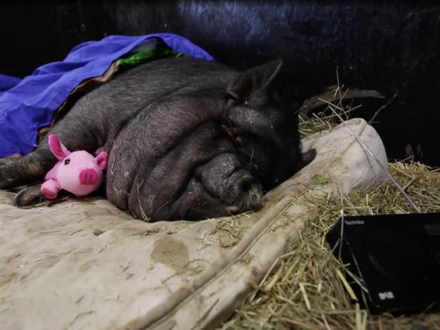 이 아주 좋은, 매우 뚱뚱한 돼지를 만나십시오
