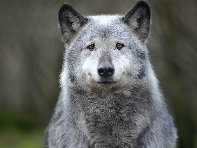 Washington State wants to kill an entire gray wolf pack