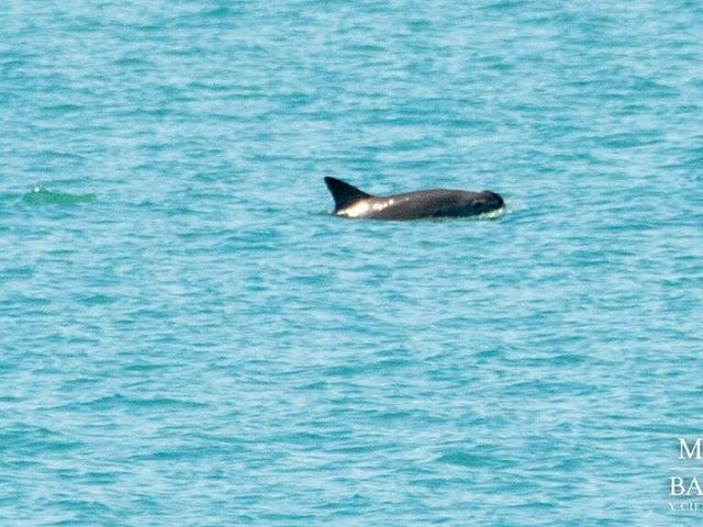 Population of Critically Endangered Vaquita Porpoises Now Less Than 19 Individuals