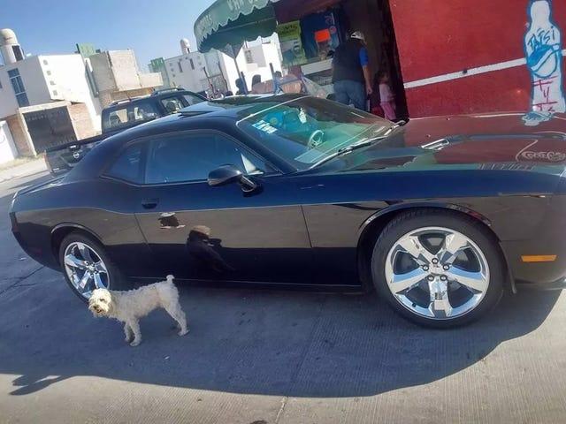 Hund til salgs, inkluderer bil