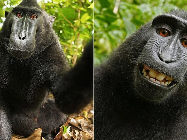 Wikimedia Won't Take Down This Photo Because a Monkey Took It