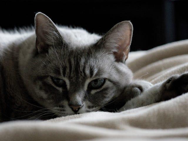 สารเคมีที่ใช้ในครัวเรือนทั่วไปอาจทำให้เกิดปัญหาต่อมไทรอยด์สำหรับแมว