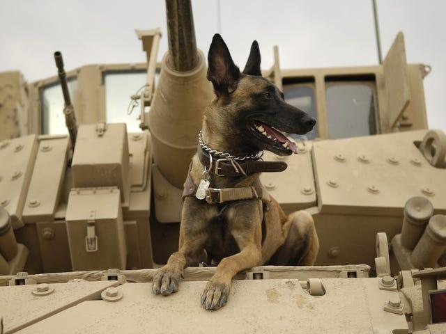 El cruel destino de muchos de los perros de guerra de Estados Unidos tras finalizar su servicio