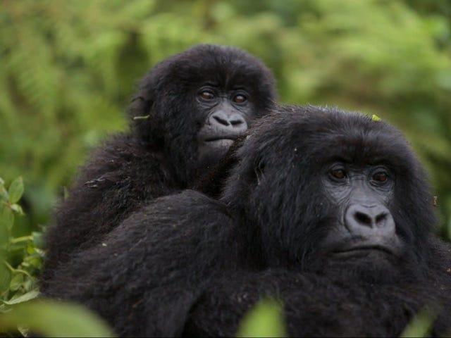 New Count of Endangered Mountain Gorillas Suggests Conservation Is Working