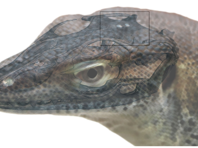 Freaky Ancient Lizard Had Four 'Eyes'