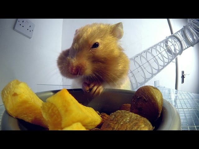 David Tennant Narrates A Nature Video About A Hamster's Cheeks