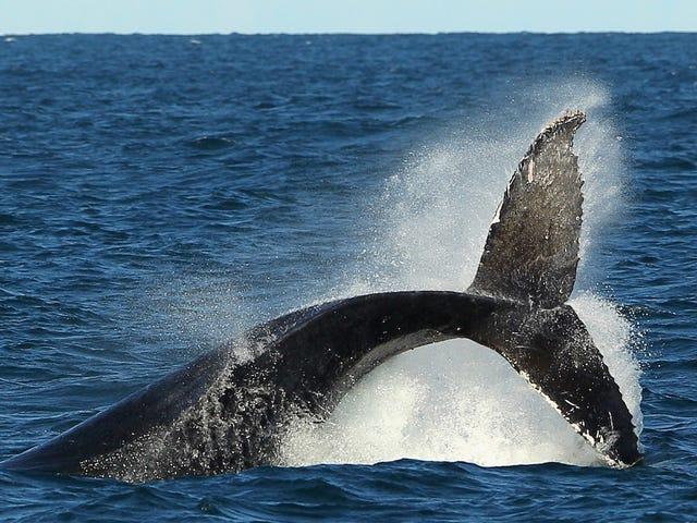 Trump Administration Tosses Rule Bescherming van bedreigde walvissen en zeeschildpadden