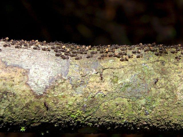 Hvilke maur kan lære oss om å unngå trafikkorker