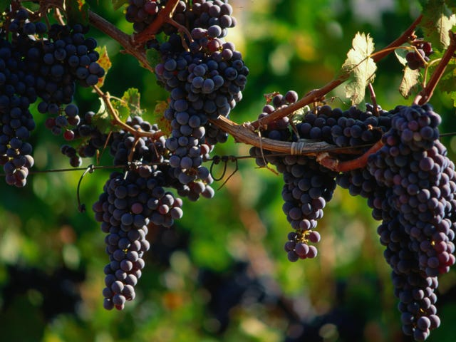 California wildfires are making wine grapes taste like barbecue