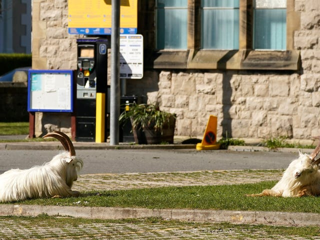 At Least These Goats Get to Run Free in the Streets