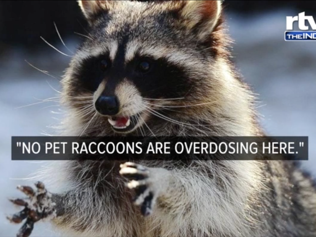 Like You, This Too Stoned Raccoon Just Needed to Sleep It Off