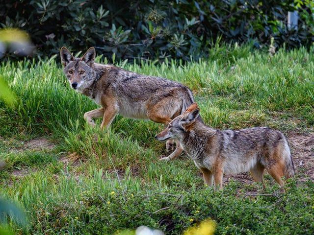 Chó sói đô thị sống bằng rác, trái cây và mèo