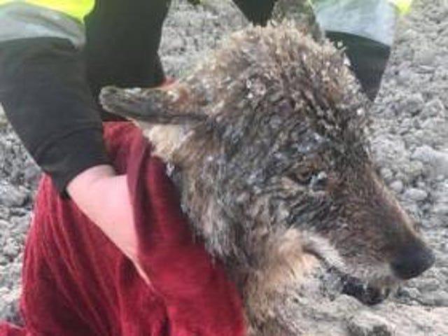 """I lavoratori estoni salvano il """"cane"""" dal ghiaccio."""