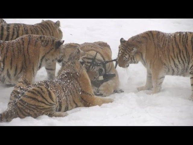 Хабббі Сибірський Тигр Хант Електронний Хижий Птах