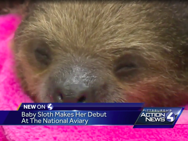 Vivien Leigh, a Baby Sloth From Pittsburgh, Is Very Relatable to Me Personally