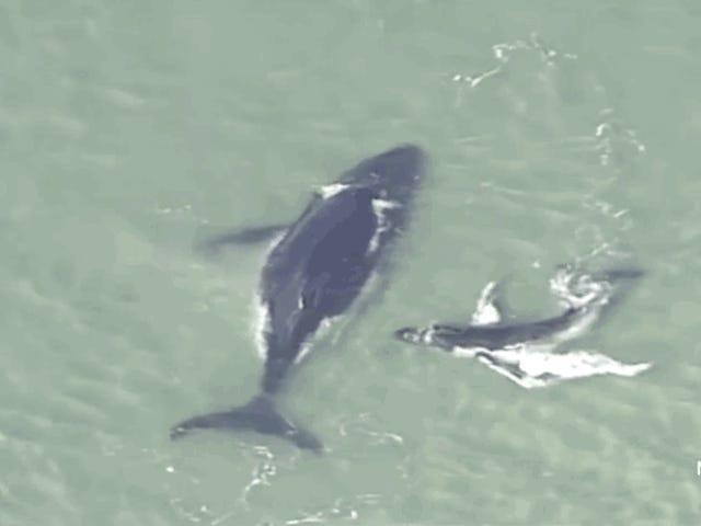 Desperate Whale Calf forsøker å befri sin mor fra en sandbank